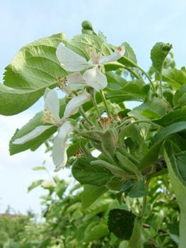 080509りんごの花.jpg